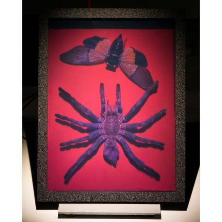 L'araignée et le Cicadidae 15x20cm (par Vladimir)